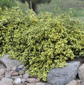 Click to download potentilla goldfinger information