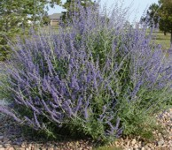 Click to download russian sage information